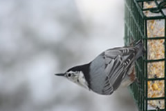 Nuthatch on Suet